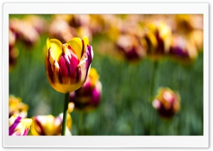 Botanical Garden Tulips HD Wide Wallpaper for Widescreen