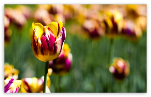 Botanical Garden Tulips HD wallpaper for Wide 16:10 5:3 Widescreen WHXGA WQXGA WUXGA WXGA WGA ; HD 16:9 High Definition WQHD QWXGA 1080p 900p 720p QHD nHD ; Standard 4:3 5:4 Fullscreen UXGA XGA SVGA QSXGA SXGA ; MS 3:2 DVGA HVGA HQVGA devices ( Apple PowerBook G4 iPhone 4 3G 3GS iPod Touch ) ; Mobile VGA WVGA iPhone iPad PSP Phone - VGA QVGA Smartphone ( PocketPC GPS iPod Zune BlackBerry HTC Samsung LG Nokia Eten Asus ) WVGA WQVGA Smartphone ( HTC Samsung Sony Ericsson LG Vertu MIO ) HVGA Smartphone ( Apple iPhone iPod BlackBerry HTC Samsung Nokia ) Sony PSP Zune HD Zen ; Tablet 1&2 ;