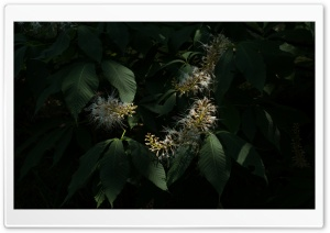 Bottlebrush Buckeye   Aesculus Parviflora HD Wide Wallpaper for Widescreen