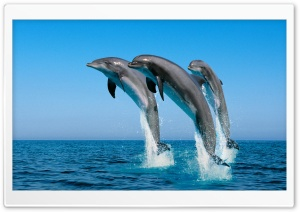 Bottlenose Dolphins Tursiops Truncatus HD Wide Wallpaper for 4K UHD Widescreen desktop & smartphone