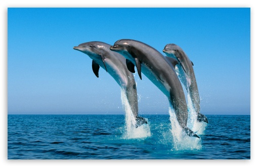 Bottlenose Dolphins Tursiops Truncatus HD wallpaper for Wide 16:10 5:3 Widescreen WHXGA WQXGA WUXGA WXGA WGA ; HD 16:9 High Definition WQHD QWXGA 1080p 900p 720p QHD nHD ; Standard 4:3 5:4 3:2 Fullscreen UXGA XGA SVGA QSXGA SXGA DVGA HVGA HQVGA devices ( Apple PowerBook G4 iPhone 4 3G 3GS iPod Touch ) ; Tablet 1:1 ; iPad 1/2/Mini ; Mobile 4:3 5:3 3:2 16:9 5:4 - UXGA XGA SVGA WGA DVGA HVGA HQVGA devices ( Apple PowerBook G4 iPhone 4 3G 3GS iPod Touch ) WQHD QWXGA 1080p 900p 720p QHD nHD QSXGA SXGA ;