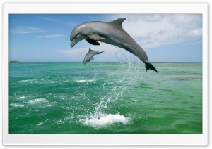 Bottlenose Dolphins Tursiops Truncatus Caribbean Sea HD Wide Wallpaper for Widescreen
