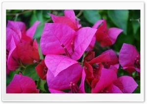 Bougainvillea Ultra HD Wallpaper for 4K UHD Widescreen desktop, tablet & smartphone