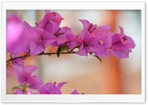 Bougainvillea HD Wide Wallpaper for 4K UHD Widescreen desktop & smartphone