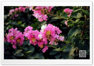 Bougainvillea HD Wide Wallpaper for Widescreen