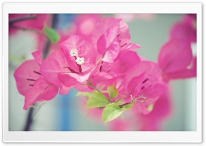 Bougainvillea Macro HD Wide Wallpaper for Widescreen