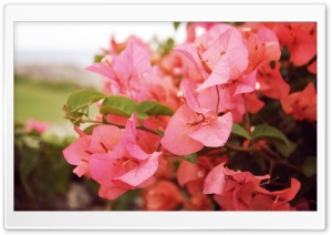 Bougainvilleas In Kapalua HD Wide Wallpaper for Widescreen