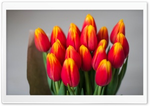 Bouquet Of Red Tulips HD Wide Wallpaper for Widescreen