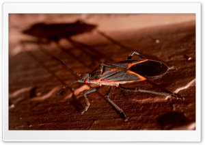 Boxelder Bug HD Wide Wallpaper for 4K UHD Widescreen desktop & smartphone
