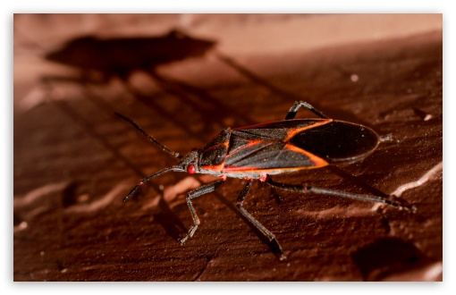 Boxelder Bug ❤ 4K UHD Wallpaper for Wide 16:10 5:3 Widescreen WHXGA WQXGA WUXGA WXGA WGA ; 4K UHD 16:9 Ultra High Definition 2160p 1440p 1080p 900p 720p ; UHD 16:9 2160p 1440p 1080p 900p 720p ; Standard 4:3 5:4 3:2 Fullscreen UXGA XGA SVGA QSXGA SXGA DVGA HVGA HQVGA ( Apple PowerBook G4 iPhone 4 3G 3GS iPod Touch ) ; Tablet 1:1 ; iPad 1/2/Mini ; Mobile 4:3 5:3 3:2 16:9 5:4 - UXGA XGA SVGA WGA DVGA HVGA HQVGA ( Apple PowerBook G4 iPhone 4 3G 3GS iPod Touch ) 2160p 1440p 1080p 900p 720p QSXGA SXGA ; Dual 4:3 5:4 UXGA XGA SVGA QSXGA SXGA ;