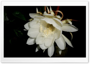 Brahmakamal HD Wide Wallpaper for Widescreen