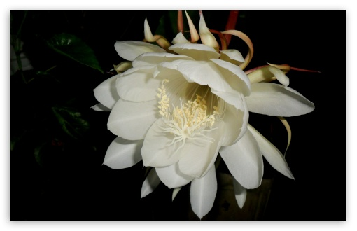 Brahmakamal ❤ 4K UHD Wallpaper for Wide 16:10 5:3 Widescreen WHXGA WQXGA WUXGA WXGA WGA ; 4K UHD 16:9 Ultra High Definition 2160p 1440p 1080p 900p 720p ; UHD 16:9 2160p 1440p 1080p 900p 720p ; Standard 4:3 5:4 3:2 Fullscreen UXGA XGA SVGA QSXGA SXGA DVGA HVGA HQVGA ( Apple PowerBook G4 iPhone 4 3G 3GS iPod Touch ) ; Tablet 1:1 ; iPad 1/2/Mini ; Mobile 4:3 5:3 3:2 16:9 5:4 - UXGA XGA SVGA WGA DVGA HVGA HQVGA ( Apple PowerBook G4 iPhone 4 3G 3GS iPod Touch ) 2160p 1440p 1080p 900p 720p QSXGA SXGA ;