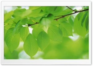 Branch With Green Leaves 10 HD Wide Wallpaper for Widescreen