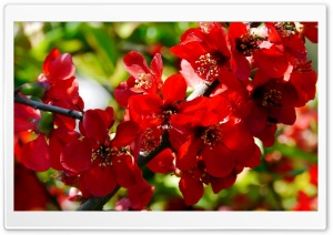 Branches with Red Flowers HD Wide Wallpaper for Widescreen