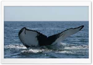 Brier Island Whale HD Wide Wallpaper for Widescreen