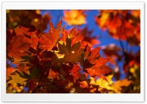 Bright Autumn Leaves HD Wide Wallpaper for Widescreen