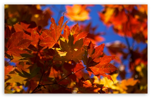 Bright Autumn Leaves HD wallpaper for Wide 16:10 5:3 Widescreen WHXGA WQXGA WUXGA WXGA WGA ; HD 16:9 High Definition WQHD QWXGA 1080p 900p 720p QHD nHD ; UHD 16:9 WQHD QWXGA 1080p 900p 720p QHD nHD ; Standard 4:3 5:4 3:2 Fullscreen UXGA XGA SVGA QSXGA SXGA DVGA HVGA HQVGA devices ( Apple PowerBook G4 iPhone 4 3G 3GS iPod Touch ) ; Tablet 1:1 ; iPad 1/2/Mini ; Mobile 4:3 5:3 3:2 16:9 5:4 - UXGA XGA SVGA WGA DVGA HVGA HQVGA devices ( Apple PowerBook G4 iPhone 4 3G 3GS iPod Touch ) WQHD QWXGA 1080p 900p 720p QHD nHD QSXGA SXGA ;