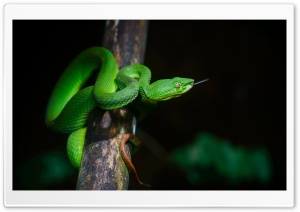Bright Green Pit Viper Snake HD Wide Wallpaper for 4K UHD Widescreen desktop & smartphone