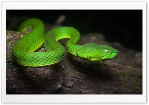 Bright Green Vogel s Pit Viper Venomous Snake Close up HD Wide Wallpaper for 4K UHD Widescreen desktop & smartphone