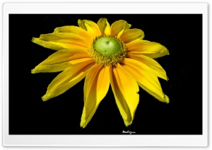Bright Yellow Flower HD Wide Wallpaper for Widescreen