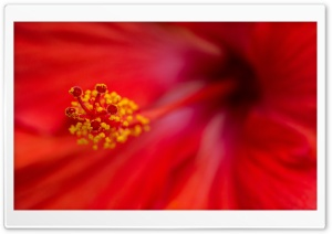 Brilliant Hibiscus HD Wide Wallpaper for Widescreen