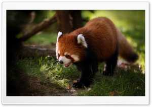 Brilliant Red Panda HD Wide Wallpaper for 4K UHD Widescreen desktop & smartphone