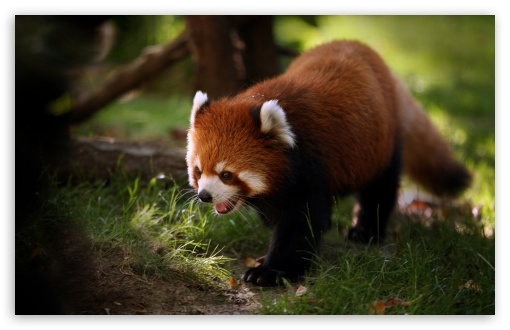 Brilliant Red Panda HD wallpaper for Wide 16:10 5:3 Widescreen WHXGA WQXGA WUXGA WXGA WGA ; HD 16:9 High Definition WQHD QWXGA 1080p 900p 720p QHD nHD ; Standard 4:3 5:4 3:2 Fullscreen UXGA XGA SVGA QSXGA SXGA DVGA HVGA HQVGA devices ( Apple PowerBook G4 iPhone 4 3G 3GS iPod Touch ) ; Tablet 1:1 ; iPad 1/2/Mini ; Mobile 4:3 5:3 3:2 16:9 5:4 - UXGA XGA SVGA WGA DVGA HVGA HQVGA devices ( Apple PowerBook G4 iPhone 4 3G 3GS iPod Touch ) WQHD QWXGA 1080p 900p 720p QHD nHD QSXGA SXGA ;