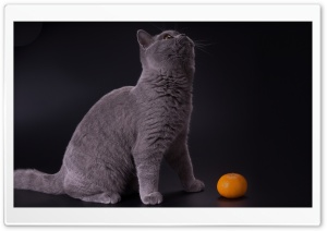British Shorthair Blue HD Wide Wallpaper for 4K UHD Widescreen desktop & smartphone