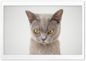 British Shorthair Cat HD Wide Wallpaper for 4K UHD Widescreen desktop & smartphone