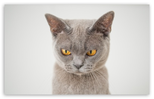 British Shorthair Cat HD wallpaper for Wide 16:10 5:3 Widescreen WHXGA WQXGA WUXGA WXGA WGA ; HD 16:9 High Definition WQHD QWXGA 1080p 900p 720p QHD nHD ; Standard 4:3 5:4 3:2 Fullscreen UXGA XGA SVGA QSXGA SXGA DVGA HVGA HQVGA devices ( Apple PowerBook G4 iPhone 4 3G 3GS iPod Touch ) ; Tablet 1:1 ; iPad 1/2/Mini ; Mobile 4:3 5:3 3:2 16:9 5:4 - UXGA XGA SVGA WGA DVGA HVGA HQVGA devices ( Apple PowerBook G4 iPhone 4 3G 3GS iPod Touch ) WQHD QWXGA 1080p 900p 720p QHD nHD QSXGA SXGA ;