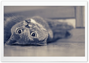 British Shorthair Lazy Ultra HD Wallpaper for 4K UHD Widescreen desktop, tablet & smartphone