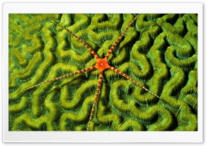 Brittlestar On Brain Coral HD Wide Wallpaper for Widescreen