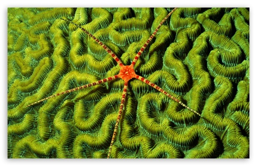 Brittlestar On Brain Coral ❤ 4K UHD Wallpaper for Wide 16:10 5:3 Widescreen WHXGA WQXGA WUXGA WXGA WGA ; 4K UHD 16:9 Ultra High Definition 2160p 1440p 1080p 900p 720p ; Standard 4:3 5:4 3:2 Fullscreen UXGA XGA SVGA QSXGA SXGA DVGA HVGA HQVGA ( Apple PowerBook G4 iPhone 4 3G 3GS iPod Touch ) ; iPad 1/2/Mini ; Mobile 4:3 5:3 3:2 16:9 5:4 - UXGA XGA SVGA WGA DVGA HVGA HQVGA ( Apple PowerBook G4 iPhone 4 3G 3GS iPod Touch ) 2160p 1440p 1080p 900p 720p QSXGA SXGA ;