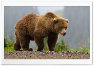 Brown Bear HD Wide Wallpaper for Widescreen