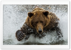 Brown Bear In The River Ultra HD Wallpaper for 4K UHD Widescreen desktop, tablet & smartphone