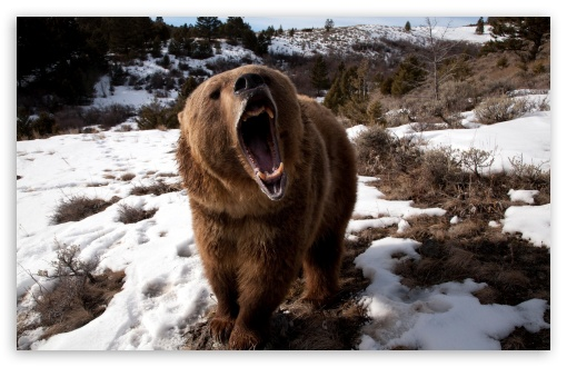 Brown Bear Roaring HD wallpaper for Wide 16:10 5:3 Widescreen WHXGA WQXGA WUXGA WXGA WGA ; HD 16:9 High Definition WQHD QWXGA 1080p 900p 720p QHD nHD ; Standard 4:3 5:4 3:2 Fullscreen UXGA XGA SVGA QSXGA SXGA DVGA HVGA HQVGA devices ( Apple PowerBook G4 iPhone 4 3G 3GS iPod Touch ) ; Tablet 1:1 ; iPad 1/2/Mini ; Mobile 4:3 5:3 3:2 16:9 5:4 - UXGA XGA SVGA WGA DVGA HVGA HQVGA devices ( Apple PowerBook G4 iPhone 4 3G 3GS iPod Touch ) WQHD QWXGA 1080p 900p 720p QHD nHD QSXGA SXGA ;