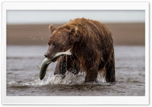 Brown Bear With Fish HD Wide Wallpaper for 4K UHD Widescreen desktop & smartphone
