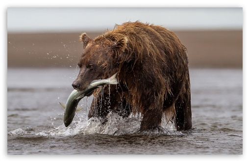 Brown Bear With Fish ❤ 4K UHD Wallpaper for Wide 16:10 5:3 Widescreen WHXGA WQXGA WUXGA WXGA WGA ; 4K UHD 16:9 Ultra High Definition 2160p 1440p 1080p 900p 720p ; Standard 4:3 5:4 3:2 Fullscreen UXGA XGA SVGA QSXGA SXGA DVGA HVGA HQVGA ( Apple PowerBook G4 iPhone 4 3G 3GS iPod Touch ) ; Tablet 1:1 ; iPad 1/2/Mini ; Mobile 4:3 5:3 3:2 16:9 5:4 - UXGA XGA SVGA WGA DVGA HVGA HQVGA ( Apple PowerBook G4 iPhone 4 3G 3GS iPod Touch ) 2160p 1440p 1080p 900p 720p QSXGA SXGA ;