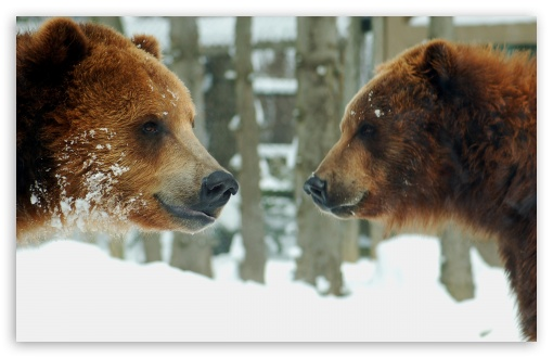 Brown Bears Couple HD wallpaper for Wide 16:10 5:3 Widescreen WHXGA WQXGA WUXGA WXGA WGA ; HD 16:9 High Definition WQHD QWXGA 1080p 900p 720p QHD nHD ; Standard 3:2 Fullscreen DVGA HVGA HQVGA devices ( Apple PowerBook G4 iPhone 4 3G 3GS iPod Touch ) ; Mobile 5:3 3:2 16:9 - WGA DVGA HVGA HQVGA devices ( Apple PowerBook G4 iPhone 4 3G 3GS iPod Touch ) WQHD QWXGA 1080p 900p 720p QHD nHD ;