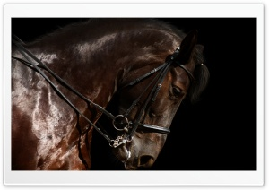 Brown Horse Head HD Wide Wallpaper for Widescreen