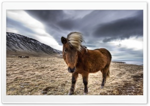 Brown Horse In Iceland HD Wide Wallpaper for 4K UHD Widescreen desktop & smartphone