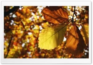 Brown Leaves HD Wide Wallpaper for Widescreen