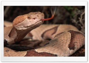 Brown Snake HD Wide Wallpaper for Widescreen