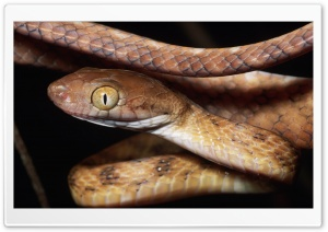 Brown Snake Close Up HD Wide Wallpaper for Widescreen