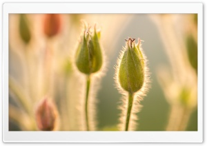 Buds Macro HD Wide Wallpaper for Widescreen