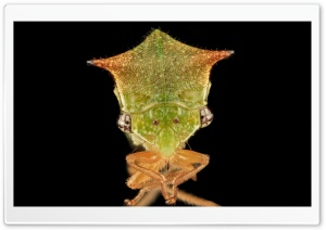 Buffalo Treehopper Face Macro Photography HD Wide Wallpaper for Widescreen