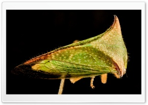 Buffalo Treehopper Macro Photography HD Wide Wallpaper for Widescreen