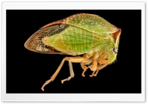 Buffalo Treehopper, Side, Macro Photography HD Wide Wallpaper for Widescreen
