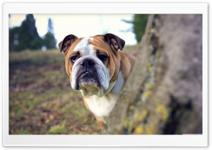 Bulldog HD Wide Wallpaper for Widescreen