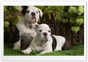 Bulldog Puppies HD Wide Wallpaper for Widescreen
